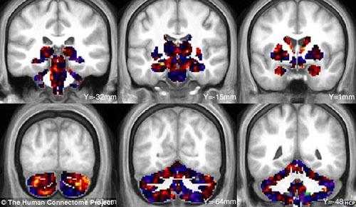 科学家首次绘制出人类大脑3d结构高清图像